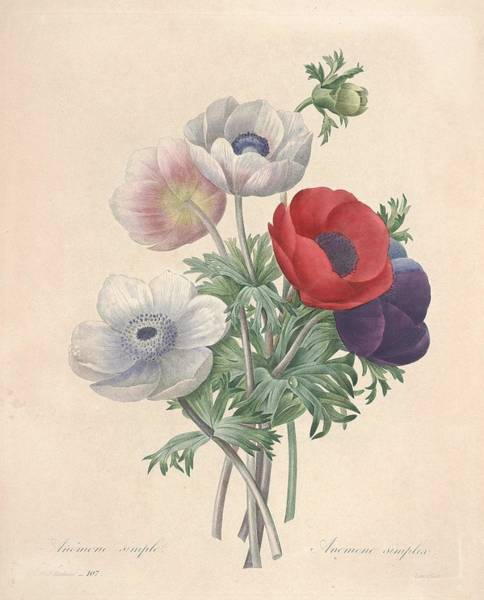 Wall Art - Painting - Anemone Coronaria. by Anemone