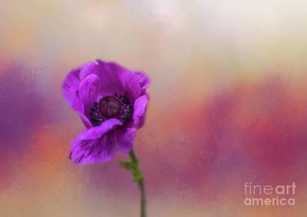 Photograph - Anemone Coronaria by Eva Lechner