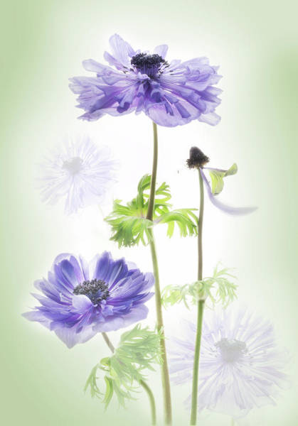 Photograph - Anemone In The Garden. by Usha Peddamatham