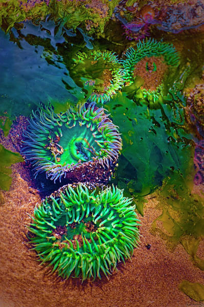 Photograph - Anemone In Tide Pool by Dee Browning