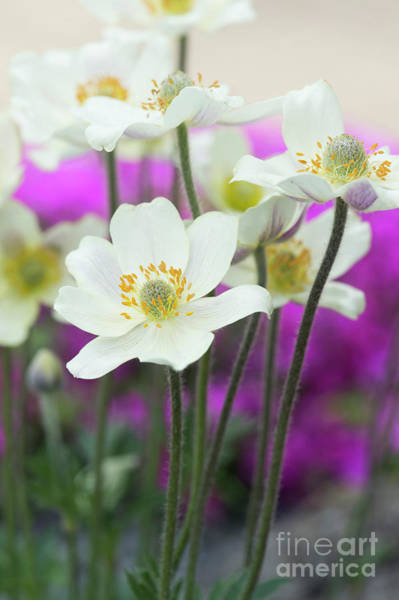 Wall Art - Photograph - Anemone Magellanica Flowers by Tim Gainey