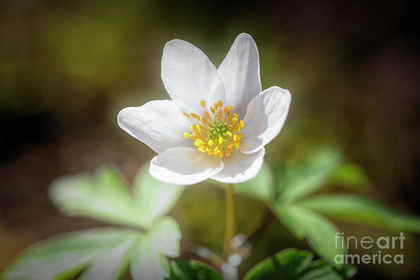 Wall Art - Photograph - Anemone Nemorosa by Veikko Suikkanen