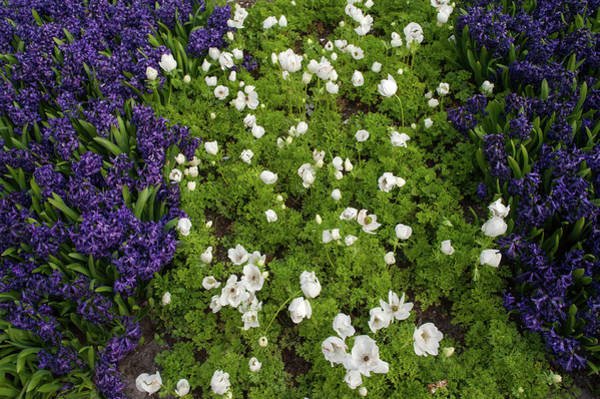 Photograph - Anemone Sylvestris And Dark Purple Hyacinths  by Jenny Rainbow