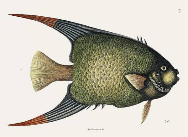Wall Art - Painting - Angel Fish  An Acarauna   By Mark Catesby  1683 1749  by Celestial Images