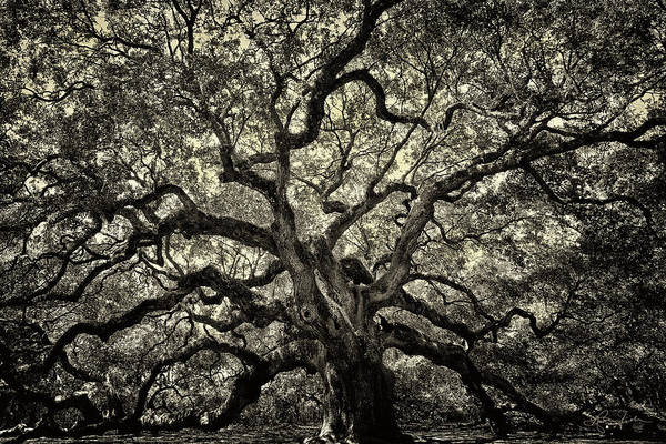Photograph - Angel Oak - Sepia by Renee Sullivan