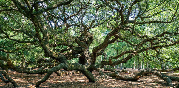 Photograph - Angel Oak Tree by Dan Sproul