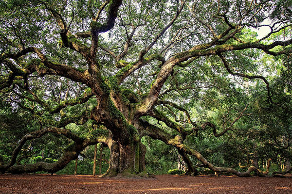 Kiawah Island Photograph - Angel Oak Tree by Lana Trussell