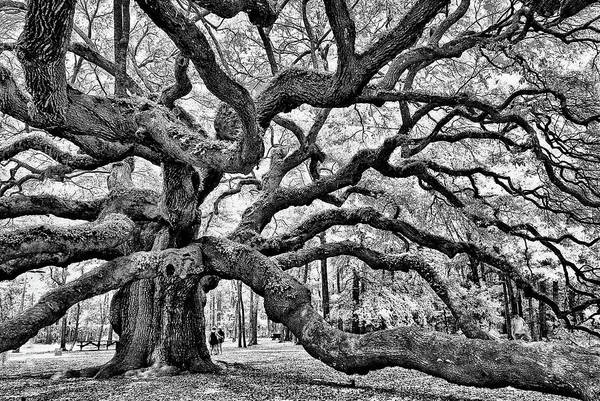 Photograph - Angel Oak Tree by Louis Dallara
