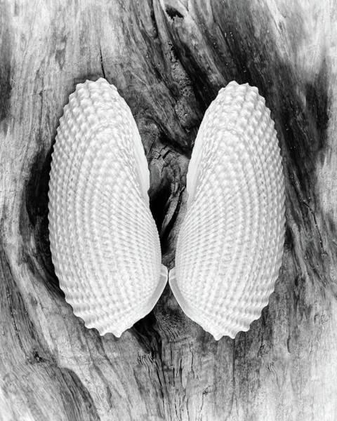 Photograph - Angel Wing Seashells by Kathi Mirto
