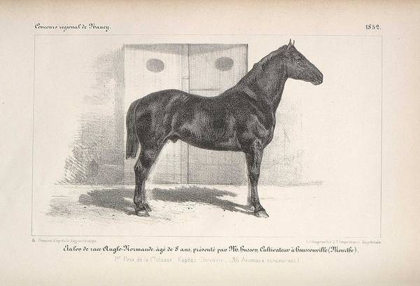 Wall Art - Painting - Anglo Norman Breed Stallion Bred In Haussonville  Meurthe  1852 by Celestial Images