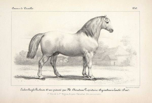 Wall Art - Painting - Anglo Percheron Stallion Raised In Ecouche  Orne  by Celestial Images