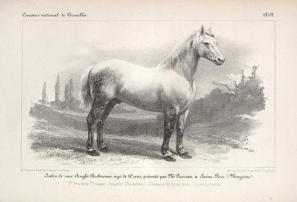 Wall Art - Painting - Anglo Percheronne Breed Stallion Bred In Saint  Fort  Mayenne  1852 by Celestial Images