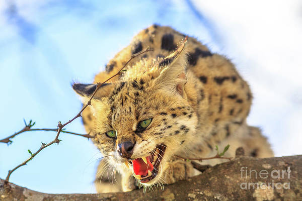 Photograph - Angry Serval On A Tree by Benny Marty