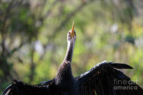Wall Art - Photograph - Anhinga Closeup With Green Background by Carol Groenen