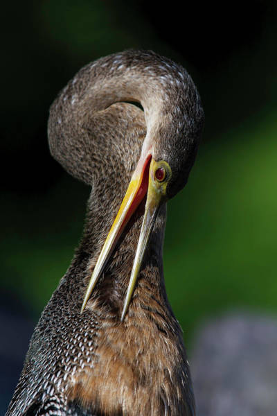 Photograph - Anhinga Combing Feathers by Donald Brown