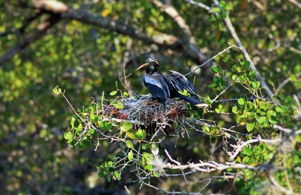 Photograph - Anhinga Mama by Michiale Schneider