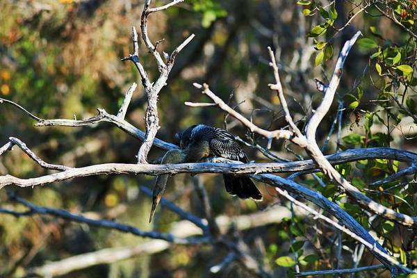 Photograph - Anhinga On A Branch by Michiale Schneider