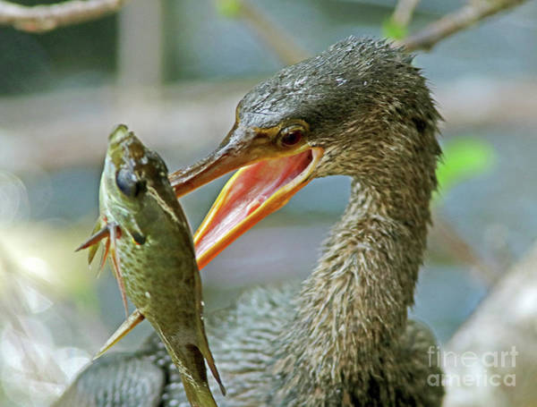 Wall Art - Photograph - Anhinga With Bluegill by Larry Nieland