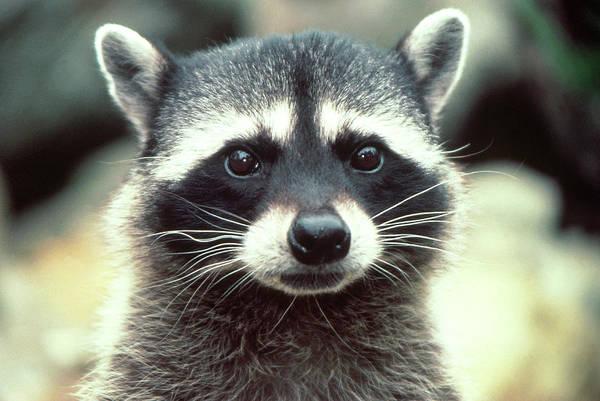 Raccoon Photograph - Anim131 Close-up Of A Raccoon by Jim Oltersdorf
