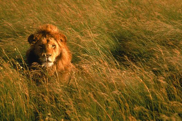 Hiding Photograph - Anim174 Male Lion Hiding, Masai Mara by Michele Burgess