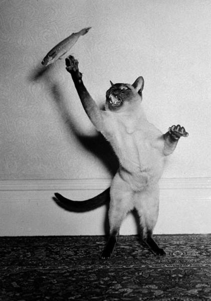 Skill Photograph - Animals. Cats. Pic Circa 1950. A Cat by Popperfoto