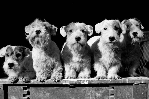 Concentration Photograph - Animals, Dogs, Piccirca 1950, Five Cute by Popperfoto