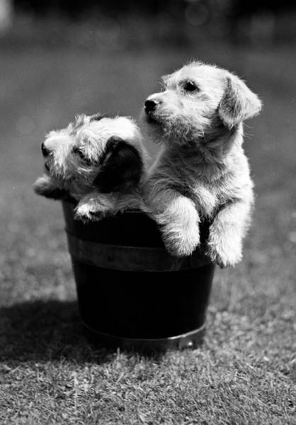 Concentration Photograph - Animals, Dogs, Piccirca 1950, Two Cute by Popperfoto