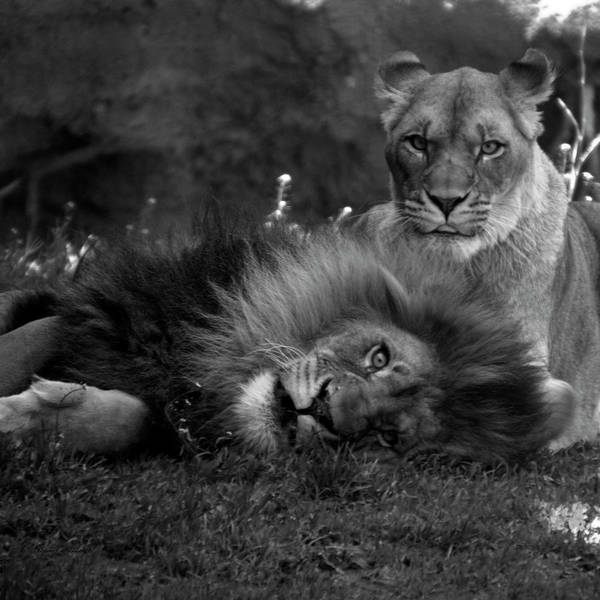 Wall Art - Photograph - Animals Lions Me And My Guy Bw Sq Format by Thomas Woolworth