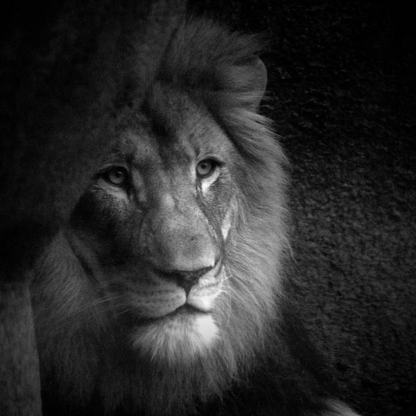 Wall Art - Photograph - Animals Mr Lion In Black And White Sq Format by Thomas Woolworth