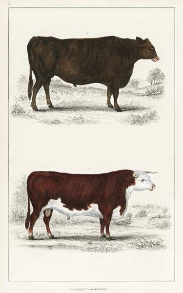 Wall Art - Painting - Animated Nature  1855  A Portrait Of An Ox And A Bull by Celestial Images