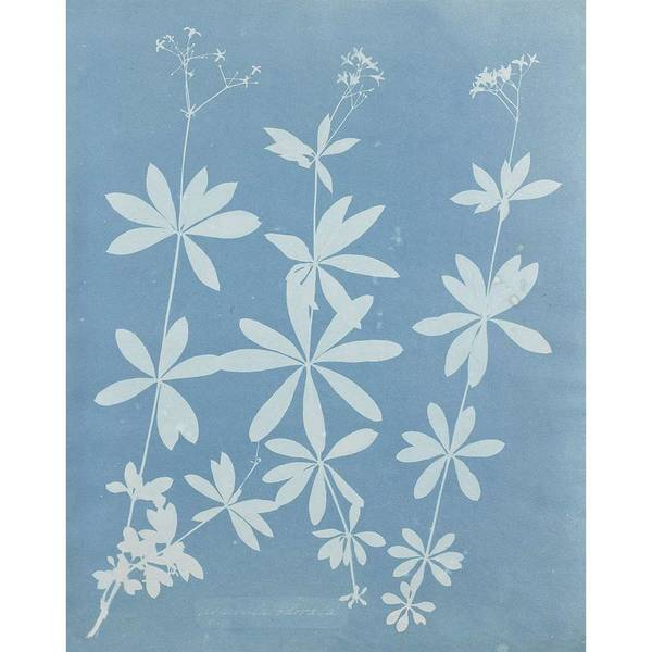 Wall Art - Painting - Anna Atkins  1799  1871 Asperula Odoater  1852 Aspidium Jamaica 1852 by Celestial Images