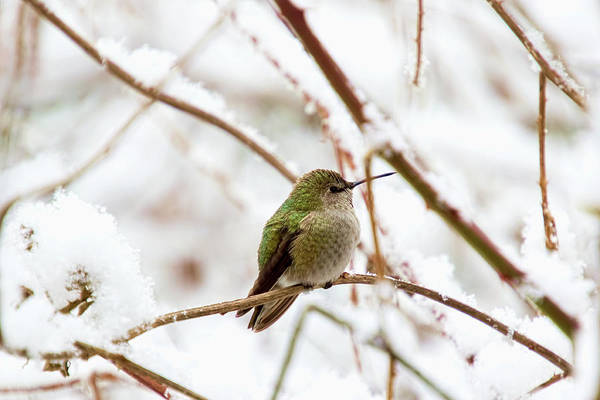 Photograph - Anna Hummingbird In Winter by Peggy Collins