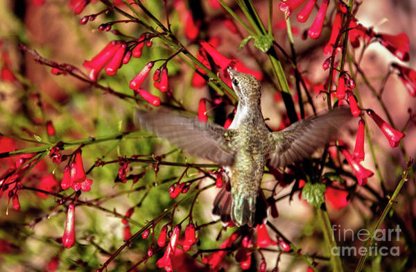 Wall Art - Photograph - Anna's Feeding On Firecracker Plant by Robert Bales