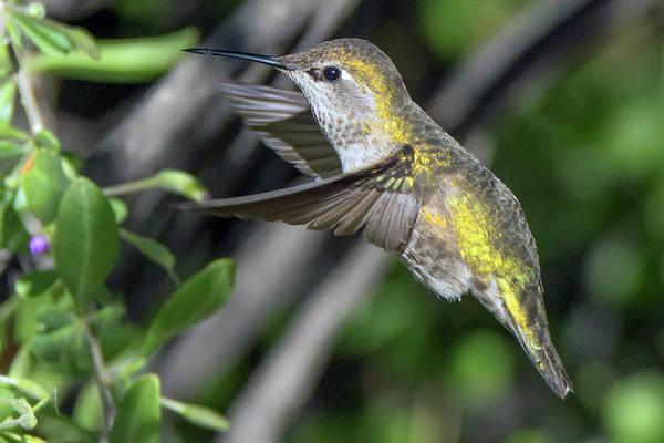 Photograph - Anna's Hummingbird 1066-011419 by Tam Ryan