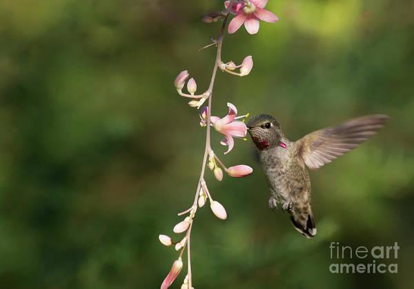 Wall Art - Photograph - Anna's Hummingbird In Flight  by Ruth Jolly