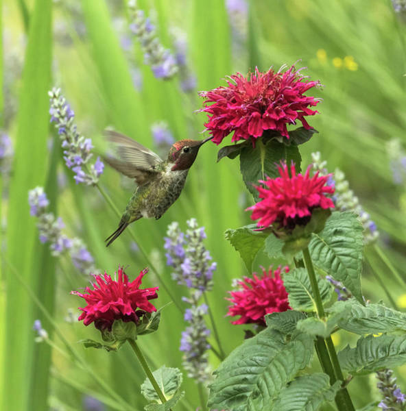 Wall Art - Photograph - Annas Hummingbird In The Garden by Angie Vogel