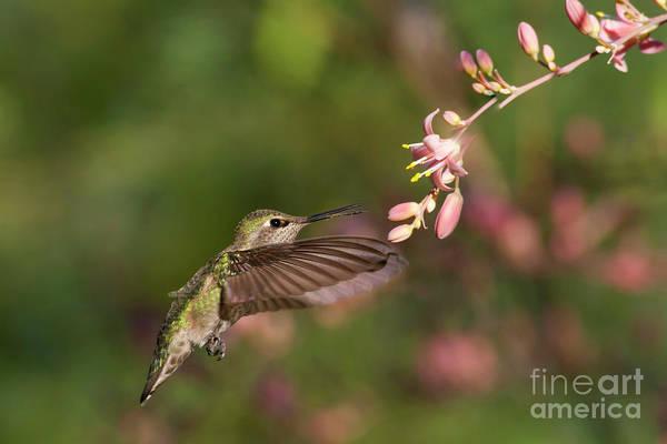 Wall Art - Photograph - Anna's Hummingbird On A Summer Morning by Ruth Jolly