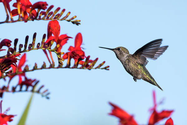Photograph - Anna's Hummingbird by Robert Potts