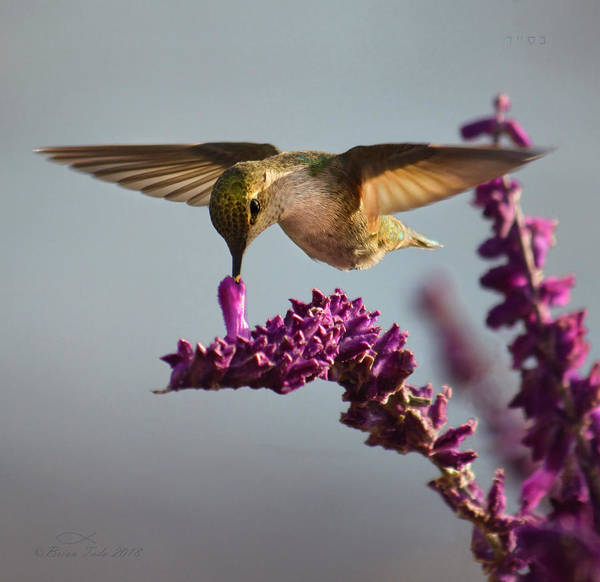 Anna's Hummingbird Sipping Nectar From Salvia Flower Art Print