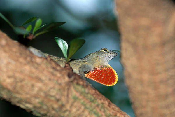 Photograph - Anole Courtship Display by Michael Lustbader