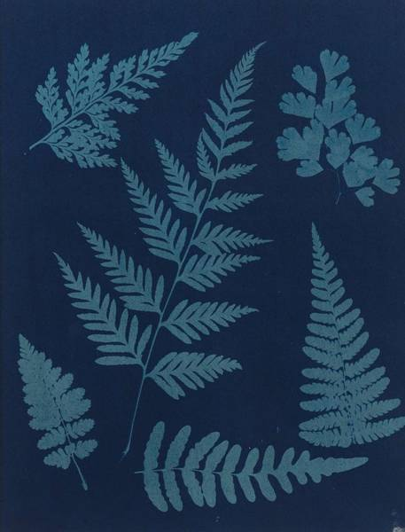 Wall Art - Painting - Anonymous  Fougeres  1855 Cyanotype  Flush Mounted To Original Card  by Celestial Images