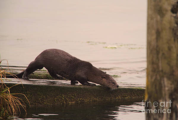 Wall Art - Photograph - An Otter Getting Ready To Dive In by Jeff Swan