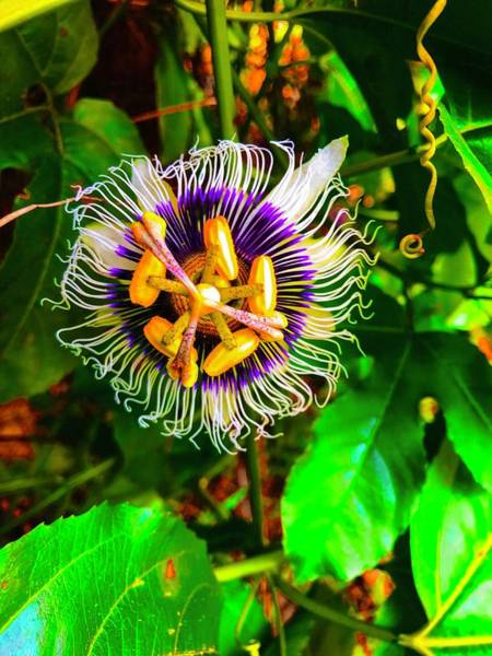 Photograph - Anotherf Passion Flower For Pele by Joalene Young