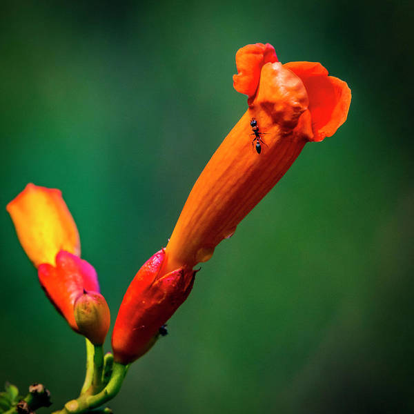 Photograph - Ant Got Time For Trumpet Vine by David Morefield