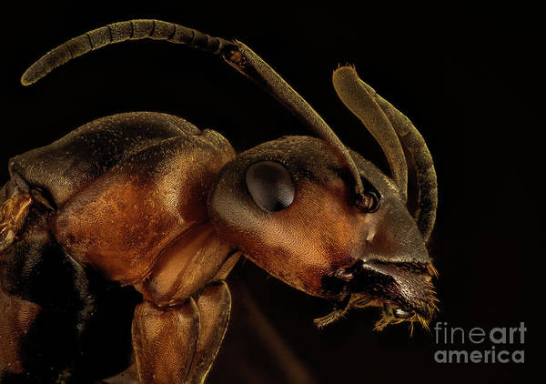 Ant Photograph - Ant by Mark Evers