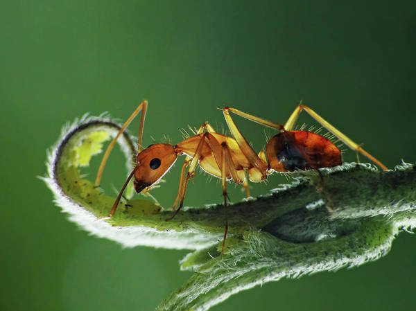 Ant Photograph - Ant On Leaf by Adegsm