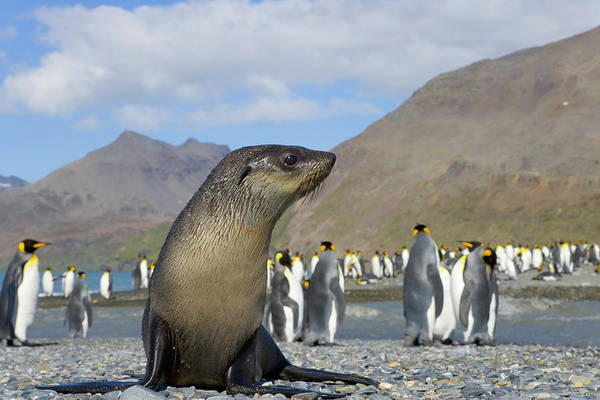 The Rookery Wall Art - Photograph - Antarctic Fur Seal Pup In King Penguin by Eastcott Momatiuk