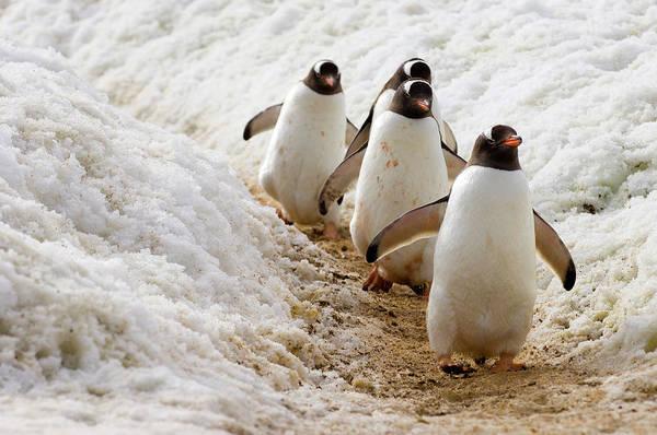 Wall Art - Photograph - Antarctica, Antarctic Peninsula, Gentoo by Gillardi Jacques / Hemis.fr
