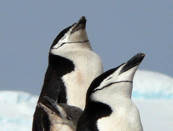 Wall Art - Photograph - Antarctica Half Moon Bay Chinstrap by Photo, David Curtis