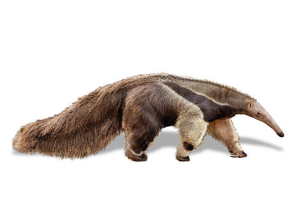 Wall Art - Photograph - Anteater Named Beaker by Susan Schmitz